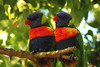 Beautiful couple (Julia_Kul) Tags: melbourne australia lorikeet rainbow beautiful bird nature blue green red closeup yellow wild colorful couple parrot tropical wildlife beak australian trichoglossus orange animal feather lorikeets outdoors two love branch color tree cute colourful birds looking wings frankston zoo background macaw bright pet exotic natural wing summer
