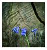 ParcCnrs_Gif_01657_MathildeBryant (MathildeBryant) Tags: campus cnrs gif greenvalley jacinthes mathildebryant nature bois plantes hyacinthus hyacinthaceae