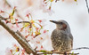 Taste of spring. (HIromi Kano) Tags: japan izunuma miyagi kurihara tome eaafp ramsarconvention wildbird wildlife nature animal cherryblossoms bbc wpy natgeo fineart ngc