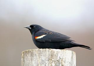 Red-wing-Blackbird-32w