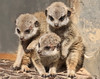 meerkat artis BB2A4613 (j.a.kok) Tags: meerkat stokstaartje artis animal africa afrika predator mammal zoogdier dier baby babymeerkat babystokstaartje