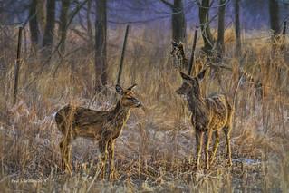 Fence for Deer      ....HFF!
