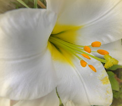 Purity (ᑭOETIᑕ outlook) Tags: annej nature macro pure white flower daffodil