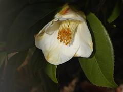 camellia alba (fotomie2009) Tags: camellia alba camelia white flora flower fiore caricata22aprile2018