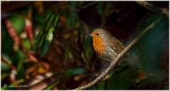 Alone Again II (lukiassaikul) Tags: wildlifephotography wildanimals wildbirds gardenbirds urbanwildlife robin smallbirds redrobinplant europeanrobin
