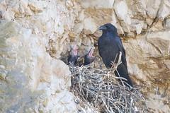 Baby Ravens are Growing Up (Kitty Kono) Tags: ravens babies valleyforgenationalpark kittyrileykono