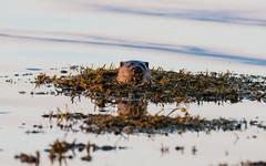 Otter 28-06-2018-6229 (seandarcy2) Tags: mammals seaotter otters isleofmull uk wildlife animals