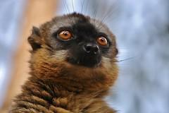 IMG_8370 Common Brown Lemur (Eulemur fulvus) (Kalina1966) Tags: madagascar animals lemur coth alittlebeauty coth5 ngc npc