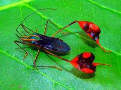 Leaf-footed bug Diactor bilineatus (Hemiptera: Coreidae) (luismiguel.constantino1) Tags: diactor coreidae neotropical colombia insects entomology passiflora leaffooted bug hemiptera