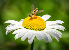 Got it! (Yves Gauvreau) Tags: flowers macro insects nature garden daisy world100f