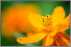 Yellow cosmos (Sean X. Liu) Tags: flower yellowcosmos colorful bokeh shallowdof macro closeup nature allengardens garden toronto ontario