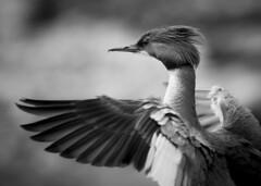 (Samuli Koukku) Tags: helsinki lauttasaari isokoskelo bird goosander mergusmerganser bw animal nature wildlife wild canon 1dx2