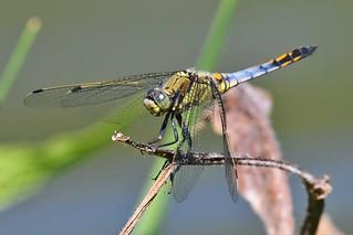Orthétrum réticulé - Orthetrum cancellatum - Black-tailed skimmer