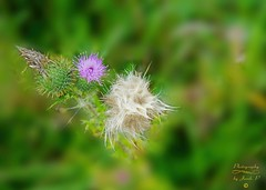 Thistle (oset) (Jurek.P) Tags: nature natura wildnature oset thistle łąka meadow plants mazury masuria poland polska jurekp sonya77