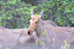 Yearling Moose (Neal D) Tags: alaska denali denalinationalpark animal moose yearling