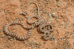 Hemorrhois algirus & Hemorrhois hippocrepis (Matthieu Berroneau) Tags: hemorrhois algirus hemorrhoisalgirus algerian whip snake algerianwhipsnake couleuvre algire couleuvrealgire culebra argelina culebraargelina marocco marruecos sahara occidental sony alpha a7ii trip herpéto herpeto 2018 nature field herp herping wildlife ff 24x36 full frame macro sonya7ii sonyalphaa7ii animal animaux sonya7mk2 sonyalpha7mark2 sonyalpha7ii 7ii 7mk2 sonyilce7m2 90 28 fe f28 g oss fe90f28macrogoss sonyfesonyfe2890macrogoss objectifsony90mmf28macrofe sel90m28g reptile hippocrepis hemorrhoishippocrepis de herradura culebradeherradura horseshoe horseshoewhipsnake fer à cheval couleuvreferàcheval