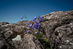Harebell Flowers 20180705-DSC07836 (Rocks and Waters) Tags: 1807xxnorthshore blue campanularotundifolia greatlakes harebell lakesuperior sugarloafcove sky sunny