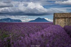 - Le Cabanon - (freuddy) Tags: lavande landscape lavender valensole provence france nature flower flowers cloud clouds