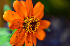 Orange Summer Flower (thatSandygirl) Tags: summer june may flower orange blossom bloom macro contrast floral petals stamen pistil closeup bokeh depthoffield dirty wet