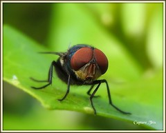 Common Fly (todd5524) Tags: fly flies amazing nature macro close awesome outdoors wild life insect eyes bug small tiny colors colorful