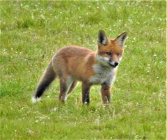 Fox cub (Bob Silver ☺) Tags: fox cub