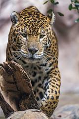Jaguar walking towards me (Tambako the Jaguar) Tags: jaguar big wild cat male coming approaching walking concentrated serious loroparque tenerife spain nikon d5
