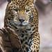 Jaguar walking towards me