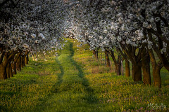 Garden of paradise (MarioCibulka) Tags: season flowers field green landscape outdoor rural nature spring bloom agriculture blooming view beautiful flower amazing blossom countryside trees road plant morning natural farming fresh calm weather seasonal scenic peaceful