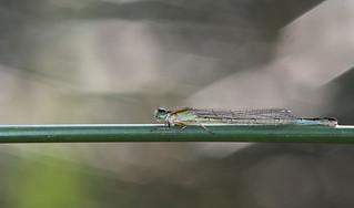 Agrion nain - Ischnura pumilio - Libellule
