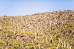 Can You Feel My Solitude? (Thomas Hawk) Tags: america arizona phoenix saguaro usa unitedstates unitedstatesofamerica cactus fav10 fav25