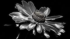 Flora Chromenominium (Bob's Digital Eye) Tags: abstract bobsdigitaleye canon canonefs55250mmf456isstm flora flower flowers july2018 t3i