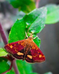 Mint Moth (Pyrausta aurata) (seanwalsh4) Tags: tynemoth insect small tiny nature dainty 10mm butterfly love nice