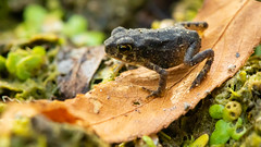 Tiny frog on leaf (sbirmingham) Tags: frog macro nature outdoors summer wildlife ngc npc