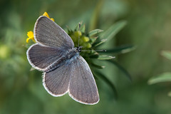 Small Blue butterfly (Tim Melling) Tags: cupidominimus small blue butterfly male yorkshire timmelling