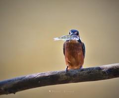 Martin Pêcheur (MalcedoP) Tags: kingfisher alcedoatthis loire niévre oiseau
