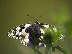 La discrétion (Titole) Tags: papillon butterfly demideuil titole nicolefaton eyes marbledwhite damenbrett schachbrett melanargiagalathea