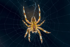 European Garden Spider (Simon Stobart) Tags: european garden spider araneus diadematus web orb uk northeast england