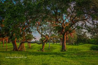 Oaks in Morning Light
