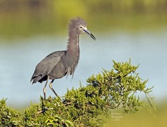 Little Blue Heron. (rumerbob) Tags: littleblueheron blueheron heron waterbird shorebird wildlife wildlifephotographer wildlifewatcher nature naturewatcher naturephotography oceancitynj canon7dmarkii canon100400mmlens