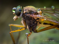 Snipe fly with rain drops (claudiaulrikegoodall) Tags: insect water drops macro insectmacro insectwithdrops snipefly canada compoundeye