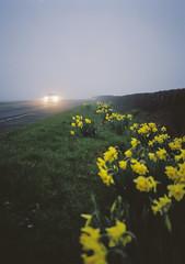 daffodils (Daniel James Edwards) Tags: film fog mediumformat kodak portra kodakportra analogue minimal england nightmoves fujiga645zi 6x45 moody