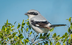 Loggerhead Shrike, La Salle Co., TX (Cissy Beasley) Tags: loggerheadshrike shrike