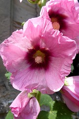 Hollyhocks. (jenichesney57) Tags: hollyhocks worcester pink flower cathedral 2panasonic lumix petalslight