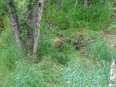 DSC07542 (jrucker94) Tags: alaska katmai katmainationalpark nationalpark bear bears grizzly grizzlybear brooksriver nature outdoors