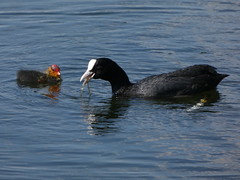 Coot and chick (Deanne Wildsmith) Tags: coot waterfowl bird bartonmarina staffordshire earthnaturelife