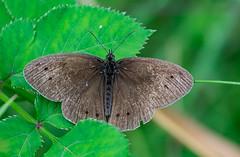 Aphantopus hyperantus (dnieper) Tags: mariposa ochlodessylvanus montesollube bermeo urdaibai