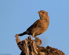 Juvenile Thick-billed Weaver (leendert3) Tags: leonmolenaar southafrica krugernationalpark wildlife nature birds thickbilledweaver ngc coth5 npc