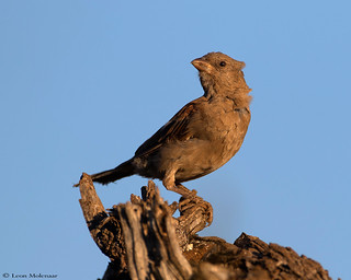 Juvenile Thick-billed Weaver