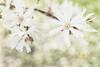 White magnolia (WillemijnB) Tags: white magnolia green light spring voorjaar lente
