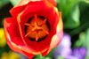 Tulip (dianne_stankiewicz) Tags: tulip spring flower colorful nature plant vibrant pollen